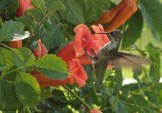 Sweet Nectar by Andrea Cowart on Capture Memphis // Female hummingbird