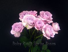Baby Rio® LAVENDER FOLLIES Spray Rose
