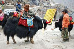 Yaks Near Tsomgo Lake, Gangtok - East Sikkim, India (Photographic Print - Unframed))