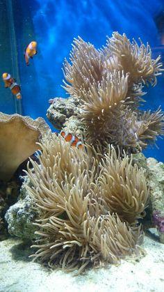 Anemone reef tank zoohoo