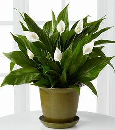 Indoor Plants - Peace Lily - These beautiful white lilies are a great way to brighten up a space and remove alcohols, acetone, trichloroethylene, beneze, and formaldehyde from indoor air. I have this plant in my apartment and I love it! Easy to care for- needs very little sunlight and water.