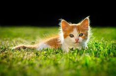 cat kitten orange tabby grass