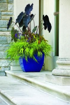 Try a big cobalt-blue container like the Obsit Square Planter by Campania with a richly colored mix of chartreuse Hakone grass (Hakonechloa macra 'All Gold'), Rustic Orange™ coleus, Arcelia 'Purple' angelonia and eggplant-colored elephant's-ear (Colocasia esculenta 'Black Magic').