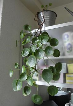Urban Jungle plant Sweety oxalis pilea peperomioides care tips on Sommergirls Blog