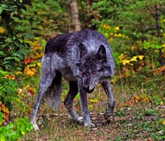 Canadian Geographic Photo Club - Alpha Male Timber Wolf