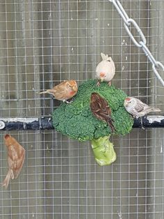 Europese vogels genieten van brocolie.