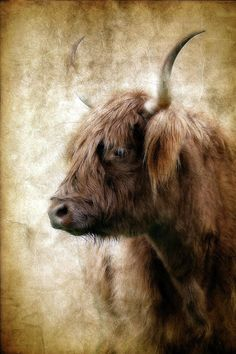 Highland Cow Painting, Highland Cow Art, Scottish Highland Cow, Highland Cattle, Animal Paintings, Animal Drawings, Wood Paintings, Pastel Paintings, Watercolor Paintings