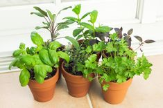 Growing your own herbs inside, like basil and thyme, is just as easy as growing them outside. All you need are the proper materials and a windowsill or ledge that gets the most sunlight. (Herbs need at least four to six hours of sunlight). For less than $10, you can have your own fully grown herb plant for what one package costs at your local supermarket! Flex your green thumb with these helpful pointers on creating an indoor herb garden.