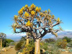 Aloe Dichotoma Quiver Tree Kokerboom m ( 7 m ) SA no 29