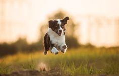 Aleksandra Kielreuter is using the world's most passionate photo sharing community. What Dogs, Hiking Dogs, Boston Terrier, Dog Breeds, Cow, Engineering, Adventure, Australian Shepherds, Profile