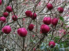 Magnolia Black Tulip is remarkably wind hardy