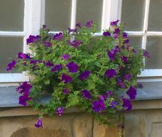 windowbox with beautiful violet petunias in Vienna in front of the window of an old house in Pötzleinsdorf Petunias, Vienna, Windows, Plants, House, Beautiful, Home, Flora, Haus