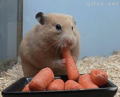 Oh my goodness! Why would he do that, 4 carrots in his mouth!? His head turns into a square!