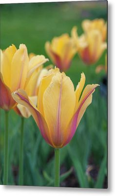 Tulipa Blushing Beauty Metal Print by Jenny Rainbow. All metal prints are professionally printed, packaged, and shipped within 3 - 4 business days and delivered ready-to-hang on your wall. Choose from multiple sizes and mounting options. Art Prints For Home, Fine Art Prints, Aluminium Sheet, Got Print, Any Images, Tulips, Fine Art America, Blush, Rainbow