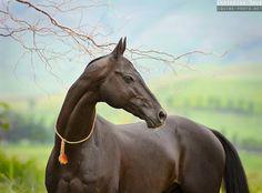 GARAUSUP (Mangyt - Oprava) black, b.2000, line Posman. Breeder: Stavropol stud №170, Russia ©Ekaterina Druz