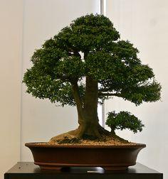 Nia  Neea buxifolia...by candyjshirey