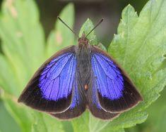 Japanese Oak-blue: Arhopala japonica - It is found in Indochina, Japan, the Ryukyu Islands, the Korean Peninsula and Taiwan.