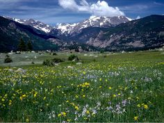 Rocky Mountain National Park | Mountain iris (Iris missouriensis) and golden banner (Thermopsis divaricarpa)  make a stunning combination of late spring wildflowers in Moraine Park