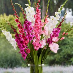 """Gladiolus Bulbs - Romantic Mix   Spring Bulbs   Eden Brothers Plant Height: 4-5 feet Plant Spacing: 5 inches Planting Depth: 4-6"""" Deep Spring Flowering Bulbs, Spring Bulbs, Spring Blooms, Spring Flowers, Gladiolus Bulbs, Gladiolus Flower, Tall Flowers, Colorful Flowers, Cut Flowers"""