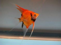 Red koi angelfish from Taiwan. Can be preordered in November from Aprils Aquarium in Canada or Discususa.com in Usa.