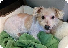 Vancouver, BC - Westie, West Highland White Terrier/Glen of Imaal Terrier Mix. Meet Hamish, a dog for adoption. http://www.adoptapet.com/pet/17399140-vancouver-british-columbia-westie-west-highland-white-terrier-mix