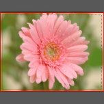 """Pink Gerbera Daisy Flower Blank Greeting Postcard  Post cards are an economical alternative to greeting cards when you want to send a quick note to let someone know your thinking of them.  br> This versatile card can be used for all sorts of occasions such as birthday, miss you greeting, thank you, congratulations, friendship, etc.       daisy, daisies, """"gerbera daisies"""", """"gerbera daisy"""" flower, flowers, floral, bride, bridalm, """"pink flowers"""" pink, postcard, """"post card"""", card, greeting…"""