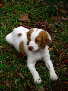 Brittany Spaniel Information Facts http://tipsfordogs.info/90dogtrainingtips/