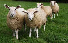 Viterbo: tiro a segno con le frecce sul gregge di pecore, denunciati  3 luglio 2012