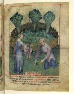 Nouvelle acquisition latine 1673, fol. 26, Récolte des asperges. Tacuinum sanitatis, Milano or Pavie (Italy), 1390-1400.