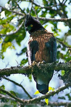 black and chestnut eagle  (photo by andre baertschi)