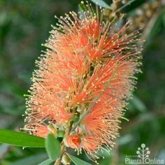 Callistemon Tangerine DreamBeautiful little bottlebrush with masses of striking gold-tipped tangerine orange flowers. Grows to high x wide, great for low maintenance native hedges and wildlife gardens. Australian Wildflowers, Australian Native Flowers, Australian Plants, Flowering Trees, Trees And Shrubs, Australian Native Garden, Small Shrubs, Flora, Low Maintenance Garden