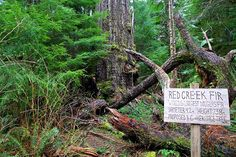 Related image Douglas Fir, Big Tree, Amazing Adventures, Vancouver Island, Day Trip, More Photos, Places To Travel, This Is Us, Trail
