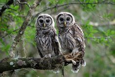 www.themeditativegardener.blogspot.com The Meditative Gardener: Barred Owls Calling