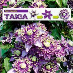 "Clematis ""Taiga®"",1 Pflanze"