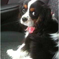 Tri color Cavalier King Charles Spaniel Puppy