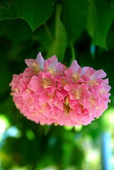 Tropical Hydrangea - Flowers And Gardens Exotic Flowers, Tropical Flowers, Amazing Flowers, Pink Flowers, Beautiful Flowers, Hortensia Hydrangea, Hydrangea Flower, Hydrangeas, Peony
