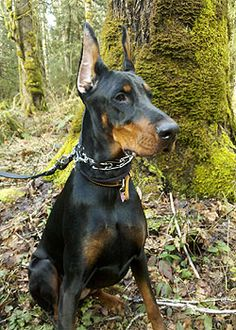 #Dobermans hiking Doberman Pinscher, Big Dogs, I Love Dogs, Mountain Dogs, Bernese Mountain, Doberman Love, Animal Books, Working Dogs, Dog Supplies