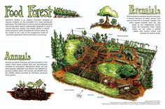 Food forest conceptual diagram by Full Circle Tree Crops :: Urban Food Forestry | Community Fruit Tree and Edible Landscaping Resources