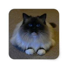 Ragdoll Cat Portrait. A Seal Mitted Raggie with huge blue eyes. This is a Square Sticker