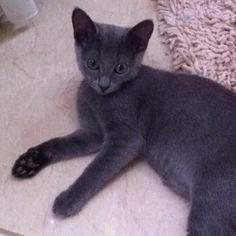 ロシアンブルーの仔猫ちゃん。四ヶ月。小さくてやんちゃでかわいい!