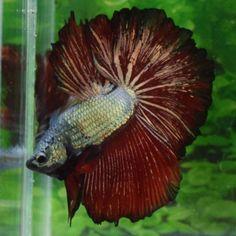 IMPORTED-OHM-Copper-Red-Dragon-Male-Live-Betta-Fish-Leo