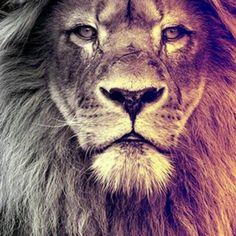Lion Tattoo, Beautiful Cats, Animals Beautiful, Cute Animals, Lion Wallpaper Iphone,