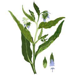 Comfrey Illustration Identity, Branding, Graphic, Portfolio Design, Illustration, Plant Leaves, Plants, Christmas, Yule