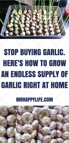 Simple 5 steps to Grow Garlic * Break up the garlic bulb into cloves and bury them a couple inches deep in loose, damp soil. * Make sure you keep the pointed side of the clove facing upwards. * When your garlic sprouts, make sure to give them water when the topsoil feels dry but be sure to not overwater – garlic tends to not need too much water. * Cut off any flowers that bloom to preserve the flavor of your garlic. * Once your garlic plant has 5 or 6 leaves, it's ready to be pulled up!