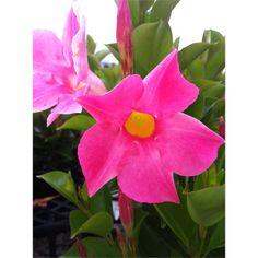 Aloha Bright Pink Mandevilla (a repin)