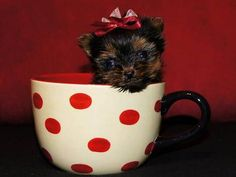 Yorkshire Terriers, Yorkies, teacup, T-cup, Yorkie baby, dog in a teacup, yorkie with a red bow.  Georgia yorkie breeder.