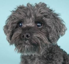 Spike is an adoptable Cockapoo Dog in Chicago, IL. Spike is a sweet, loyal and loving, eight-year-old, ten-pound, male silver Cockapoo (Cocker Spaniel/Poodle-mix) looking for a loving guardian. Spike ...