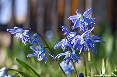 #Blaustern #Scilla aus der Familie der #Spargelgewaechse #Asparagaceae http://www.florilegium.de/blog/pflanzen/blumen-im-garten/blausterne-scilla-als-fruehlingsboten.html
