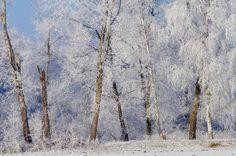 Birches Photograph  - Birches Fine Art Print