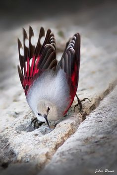~~ WallCreeper...His feet and beak are Creeper enough for me...I usually like all birds but this one looks creepy and gives me the willies! ~`